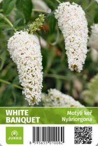 Motýlí keř - WHITE BOUQUET