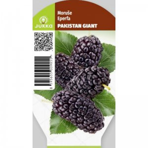Moruše PAKISTAN GIANT