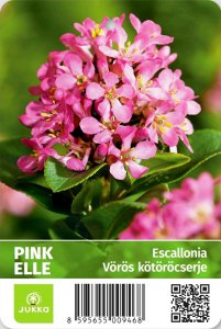Escallonia leavis - PINK ELLE